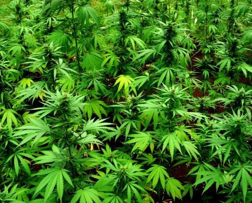 medicinale wiet, cannabis pijnstiller